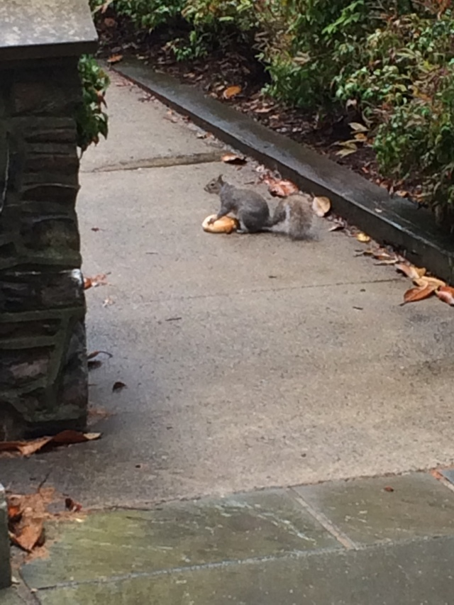 Even the squirrels are entitled on the Duke University campus (bagels?)