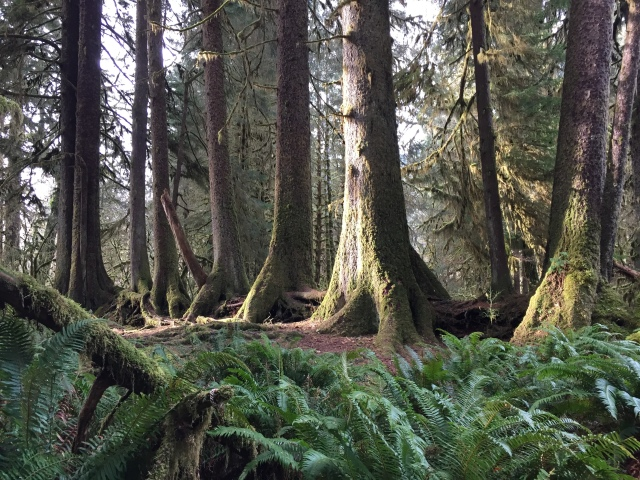 """All in a Row. These Sitka and Hemlock all straddle a """"Nurse Log"""""""