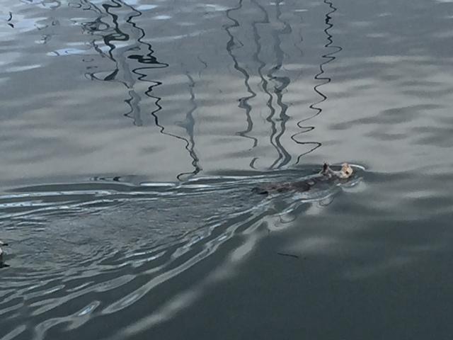 Sea Otter having a snack