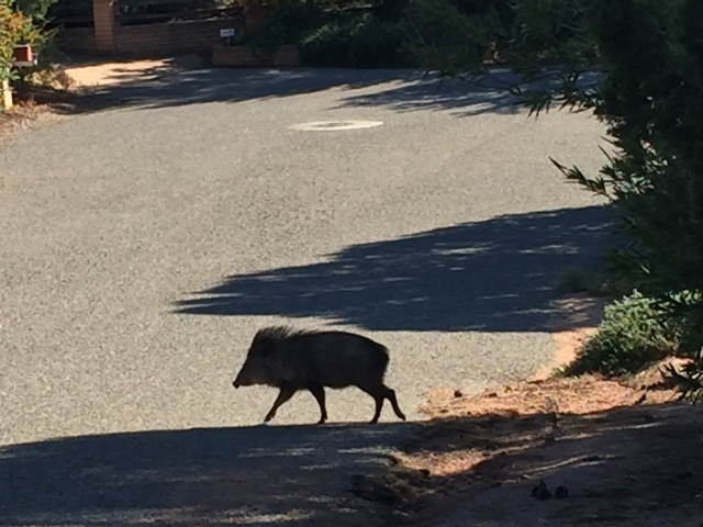 Robin chased this nasty Javelina out of our front yard.
